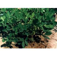 Green Plants Extracts Epigallocatechin Gallate EGCG 55%-98% Purified Catechins From Tea