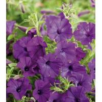 Wholesale Supertunia Indigo Charm Petunia hybrid Petunia from china suppliers