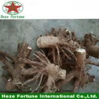 Fresh whole root system paulownia tomentosa stumps
